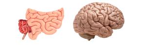 darmen-hersenen